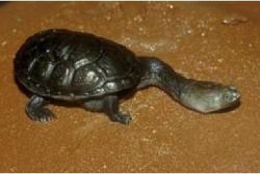 Vodní želvy-Chelodina Siebenrocki