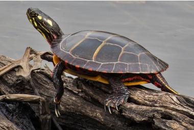 Vodní želvy-Chrysemys Picta Dorsalis