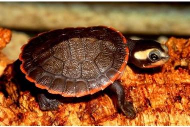 Vodní želvy-Emydura Albertisii