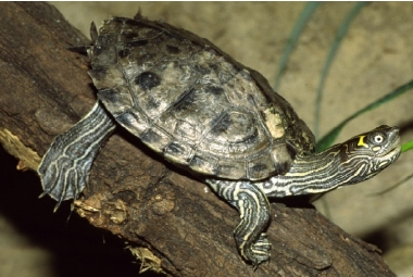 Vodní želvy-Graptemys Pseudogeographica Kohnii