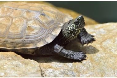 Vodní želvy-Chinemys Reevesii