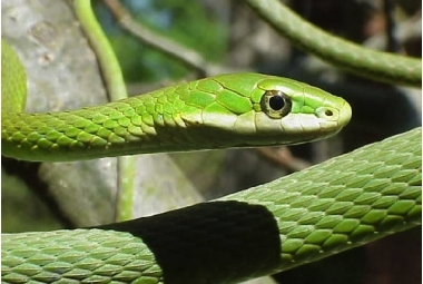 Užovkovití hadi-Opheodrys Aestivus