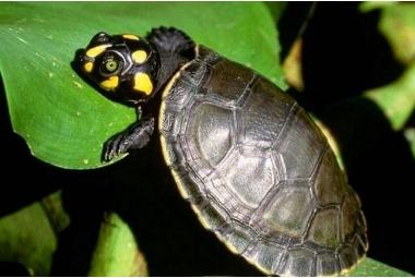 Vodní želvy-Podocnemis Unifilis