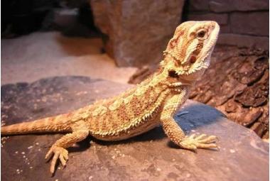 Agamy-Pogona Vitticeps