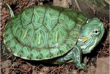 Vodní želvy-Pseudemys Sp.