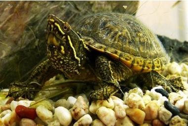 Vodní želvy-Sternotherus Odoratus