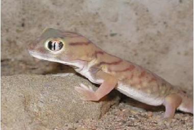 Gekoni-Teratoscincus Microlepis