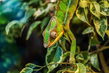 Chameleony